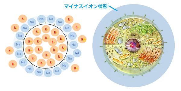 正常な細胞