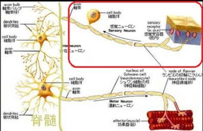 神経の構造