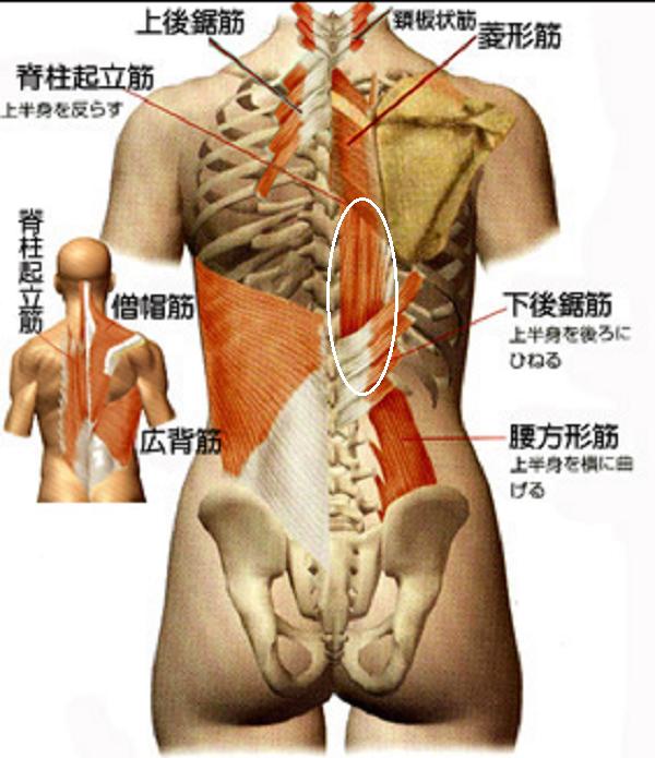 背中中央の脊柱起立筋
