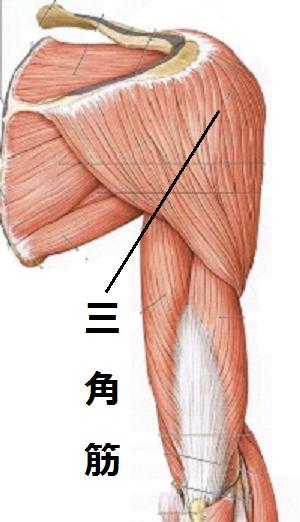 肩の付け根「三角筋」