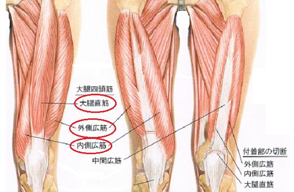 立ち上がれない原因の筋肉