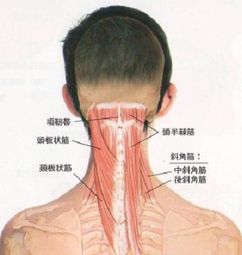 首の筋肉「頭半棘筋」