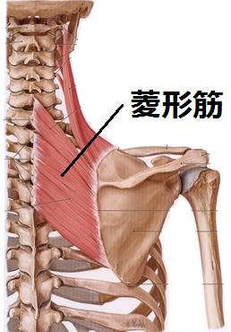 肩甲骨の付け根の菱形筋