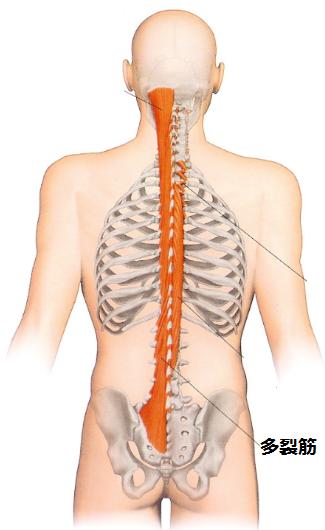 背骨の多裂筋