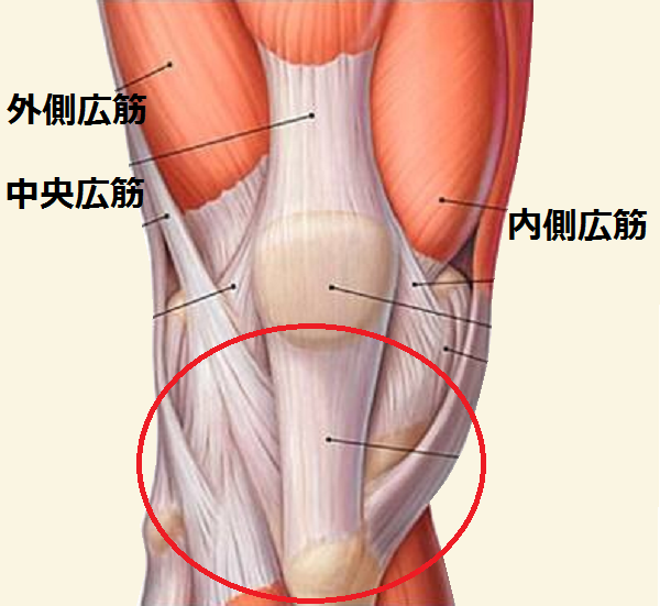 膝(皿)の筋肉と腱
