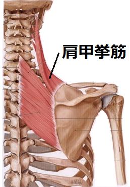 肩の筋肉「肩甲挙筋」