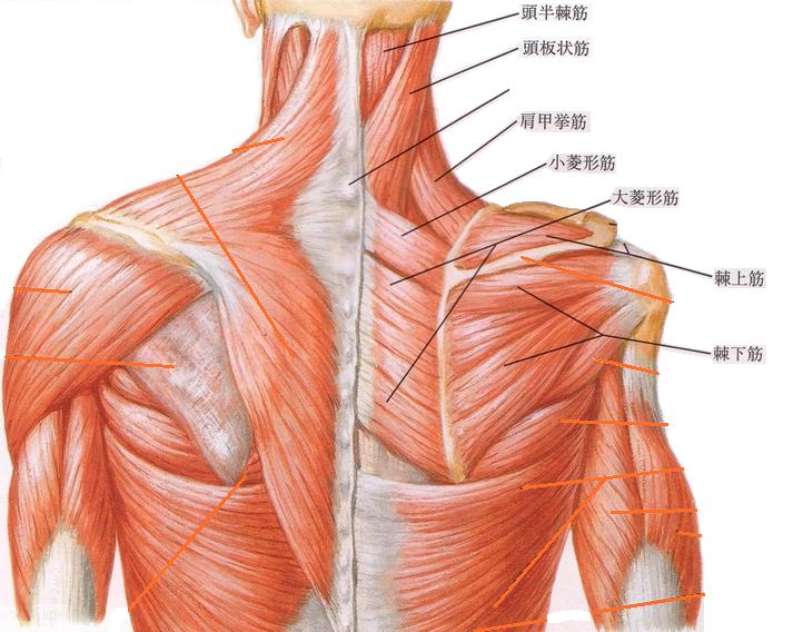 肩の筋肉写真