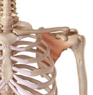 肩甲挙筋1